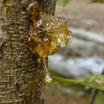 Tree Sap Oozing